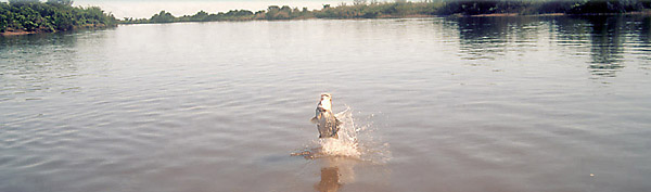 jumping barramundi
