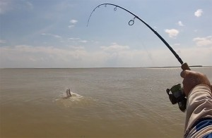 A metre-plus barramundi jumps during a wild Roper River fishing session